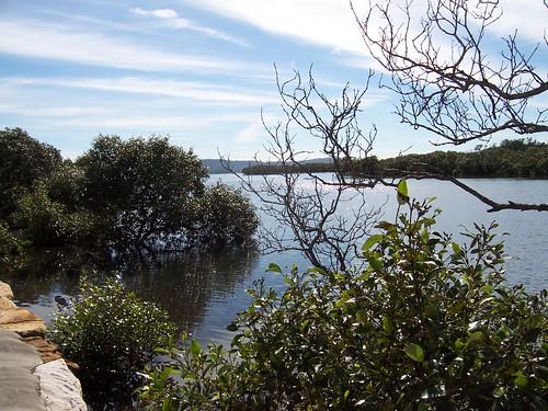 Mangroves besdie Brisbane Water Drive Woy Woy