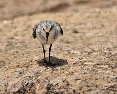 Bashful Sanderling (closeup)