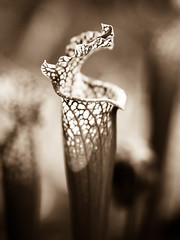 Inconspicuous Carnivore (ninjas_rule) Tags: blackandwhite bw plant macro nature monochrome 50mm olympus e300 carnivorous carnivore zuikodigital