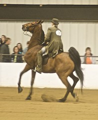 American Saddlebred (Just chaos) Tags: from horse view you photos or everyone ungulate animalia mammalia equus domesticated equidae chordata perissodactyla americansaddlebred oddtoed heartlandclassic caballusx