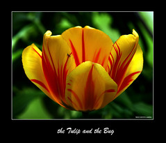 The Tulip and the Bug (West County Camera) Tags: friends bug photo amazing group tulip ao soe the yellowtulip thegalaxy topshots imagepoetry theunforgettablepictures platinumheartaward flickrestrellas macroflowerlovers natureselegantshots multimegashot buttergarden qualitypixels