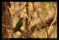 Emerald Dove (M V Shreeram) Tags: travel vacation india bird nature nikon pigeon dove wildlife safari avifauna madhyapradesh kanha columbidae emeralddove chalcophapsindica columbiformes