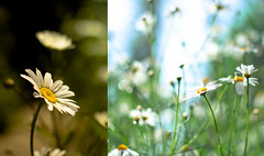 Welcome to the jungle (harold.lloyd) Tags: light flower green yellow daisies diptych bokeh daisy 50mmf14 dippy dipit daisery happydipitthursday wegotfunandgames