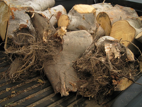 large root-covered fig logs in my truck bed