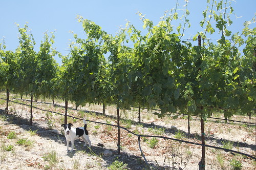Then to the Upper Vineyard, where Lucy gives terrier-scale to the growing Cabernet vines.
