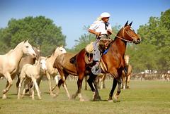 De bayos y leyendas... (Eduardo Amorim) Tags: horses horse southamerica argentina criollo caballo cheval caballos cavalos pferde herd cavalli cavallo cavalo gauchos pferd pampa yara hest hevonen chevaux gaucho  amricadosul paniolo hst gacho  campero amriquedusud provinciadebuenosaires  gachos  sudamrica sanantoniodeareco suramrica amricadelsur  areco sdamerika gregge crioulo troupeau caballoscriollos herde criollos  tropillas  pampaargentina camperos americadelsud tropilhas tropilla  crioulos cavalocrioulo americameridionale tropilha caballocriollo campeiros campeiro eduardoamorim cavaloscrioulos pampaargentino