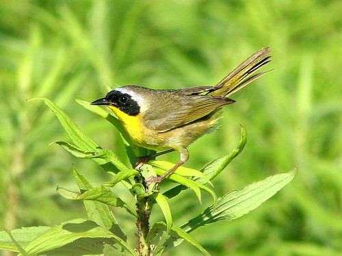 Common Yellowthroat 20090629