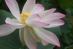 Lotus Flower -IMG_2640 (Bahman Farzad) Tags: flower macro yoga peace lotus relaxing peaceful meditation therapy lotusflower lotusflowers lotuspetal lotuspetals lotusflowerpetals lotusflowerpetal