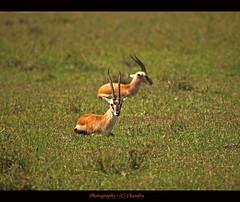 Are you talking to me? (lensbug.chandru) Tags: life africa wild sun india canon eos is asia kenya mark wildlife pair sunny east full safari telephoto ii mara frame both l 5d rest lonely usm chubby chennai chandru mid tamil masai nadu masaimara maara 100400