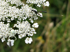 death in the afternoon (Yersinia) Tags: uk greatbritain england brown white black london nature public insect geotagged spider fly rust europe wasp unitedkingdom britain lewisham yuck ichneumon bellingham safe southlondon daucuscarota queenanneslace parasite crabspider catford parasitic wildcarrot ovipositor misumenavatia umbellifera londonset ccnc photographical yersinia natureycrap poolriver gasteruptiidae evanioidea gasteruptionjaculator itsonlynatural southlondonset canonpowershotsx110is gasteruptiinae londonboroughcollection evanioid thenaturalhistoryoflewisham