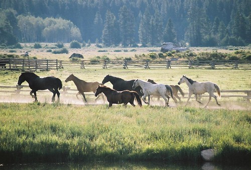 Horses running free near Vista Verde Ranch in Steamboat, Colorado.horses