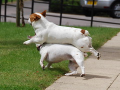 Can I Have A Piggy Back Please (Explored!) (JRT ) Tags: shadow dog sun playing tree dogs grass fur jack flying nikon jrt russell teeth sally terrier belle paws piggyback jackrussellterrier tails fench d40 brownhead johnwarwood flickrjrt