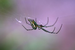 There is nothing more inspiring than seeing a spider working her web, her craft, many times a day, with such perfection and careful patience.  Sunil Khemaney (Lenareh) Tags: macro spider web arachnid spin silk spinning pinoykodakero lenareh pinoymacro
