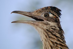 Greater Roadrunner (Geococcyx californianus) (gatespassbear) Tags: arizona bird nature animal yard desert tucson wildlife explore sonoran roadrunner pimacounty