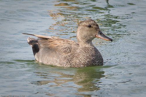 Gadwall by you.