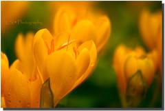 Yellow Fever (Kuzeytac) Tags: lsi leyla kuzeytac canoneos400d canoneosdigitalrebelxti flower crocus çiçek sarı yellow green yeşil color colour renk tabiat nature geotagged geotag doğa copyrightedallrightsreserved canon70300isusm çiğdem ışık orange light makro macro drop damla sooc yağmur vivid renkler petal natura istanbul golden gold droplets doku dof detay damlalar bright bokeh bahçe altın garden texture detail excellence naturethroughthelens aplusphoto flickrdiamond abigfave supershot naturesfinest fantasticflower colorphotoaward 100commentgroup ✿beautiflower✿ aqualityonlyclub