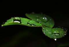 Rain drops keep fallin' on a leaf    (Spice  Trying to Catch Up!) Tags: light shadow plants black color macro green art nature water leaves rain japan canon dark geotagged photography eos photo leaf interesting flora flickr dof image bokeh wordpress creative picture vivid blogger drop september livejournal explore photograph raindrops  portfolio vox    gettyimages facebook   friendster multiply    9   roseleaf   twitter mywinners canoneos50d   cathlights 2009   superstarthebest