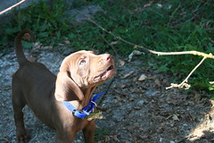 Its A Boy!!  The New Addition to the Family (Palmer Digital Studio) Tags: dog baby cute puppy puppies child play little adorable vizsla canine weimaraner german precious cuddly blitz blitzen hungarian