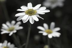 Ain't I pretty? (Aarthi) Tags: seattle white flower nature garden whiteflower petals bokeh marguerite