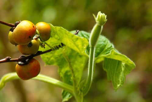 柿子與瓜藤