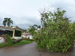 Tornado en San Cristbal, arboles cados (ranpacomusic) Tags: venezuela sancristobal tornado tachira 19deabril