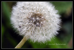 Dandelions (Arvind Balaraman) Tags: life blue light summer sky sun sunlight white holiday plant abstract flower detail art clock nature beautiful beauty liberty design fly flying spring stem weed flora heaven bright wind blossom head walk background breath softness feather seed fluffy blowing scene blow fluff dandelion pistil growth environment wish float delicate breeze botany flimsy fertility biology fragile tranquil enjoyment isolated offspring fuzz spreading overblown posterity fragility