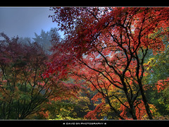 One Foggy Fall Morning at Portland Japanese Garden 2 (David Gn Photography) Tags: morning autumn trees fog oregon portland landscape raw fallcolors pdx portlandjapanesegarden washingtonpark japanesemapletree