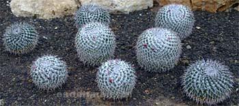 Contoh koleksi Kaktus yang Langka