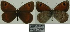 Erebia graucasica
