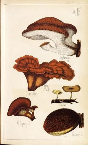 Juglandis, Giganteus, Elegans, Supdus et al spp.