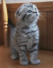[フリー画像] [動物写真] [哺乳類] [ネコ科] [猫/ネコ] [子猫] [スコティッシュフォールド]     [フリー素材]