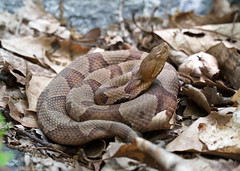 "C-Falls - copperhead coiled 3 • <a style=""font-size:0.8em;"" href=""http://www.flickr.com/photos/30765416@N06/5701533069/"" target=""_blank"">View on Flickr</a>"