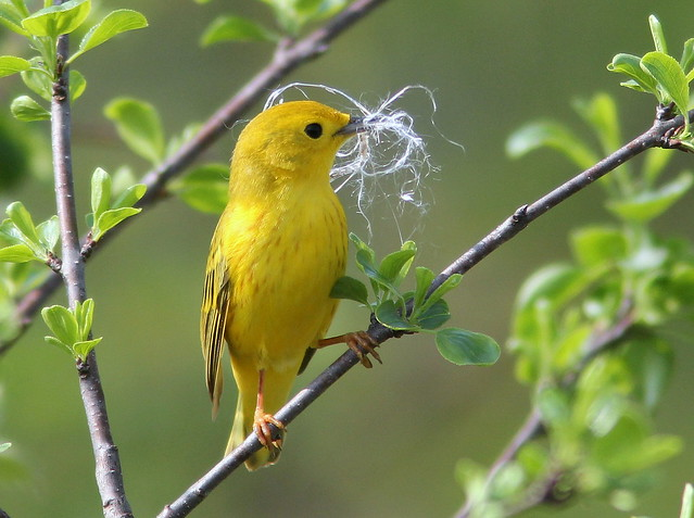 Yellow Warbler female 20110511
