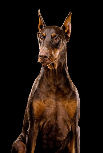 Ginger - Red Doberman Dog