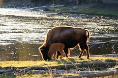 Mom and Baby (rickpawl) Tags: yellowstone