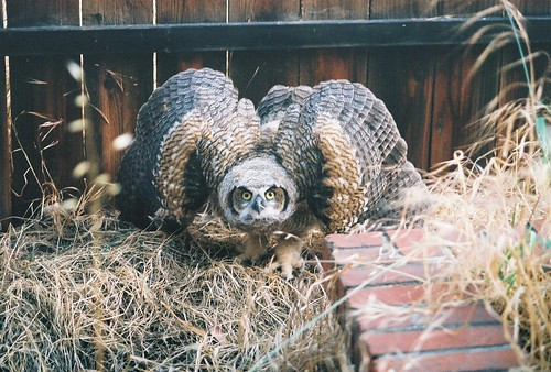 great horned chik1