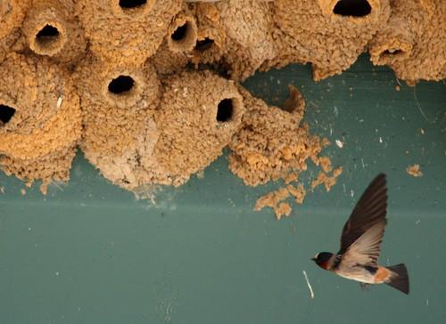 Cliff Swallows - 5/21/2009