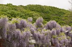 藤棚と御大師山