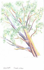 Crack willow (Sarah__M) Tags: sketch watercolourpencil pleinair crackwillow wcpencilworkshop2009
