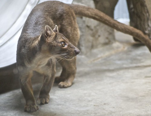 Fossa by Just chaos, on Flickr