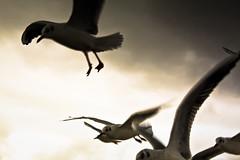 IMG_0592 (Spieler Family) Tags: vögel möwen boltenhagen mwen vgel