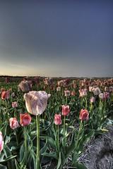 bollenvelden-7 (Sasja Milenkovic) Tags: flowers holland spring tulips nederland natuur lente hdr bloemen tulp lisse 28105mm canon50d