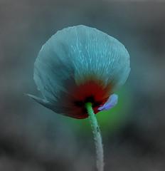 toi, le bleu...moi, le rouge.... (@uroraboreal) Tags: portugal poppy papoila natureselegantshots auroraboreal1