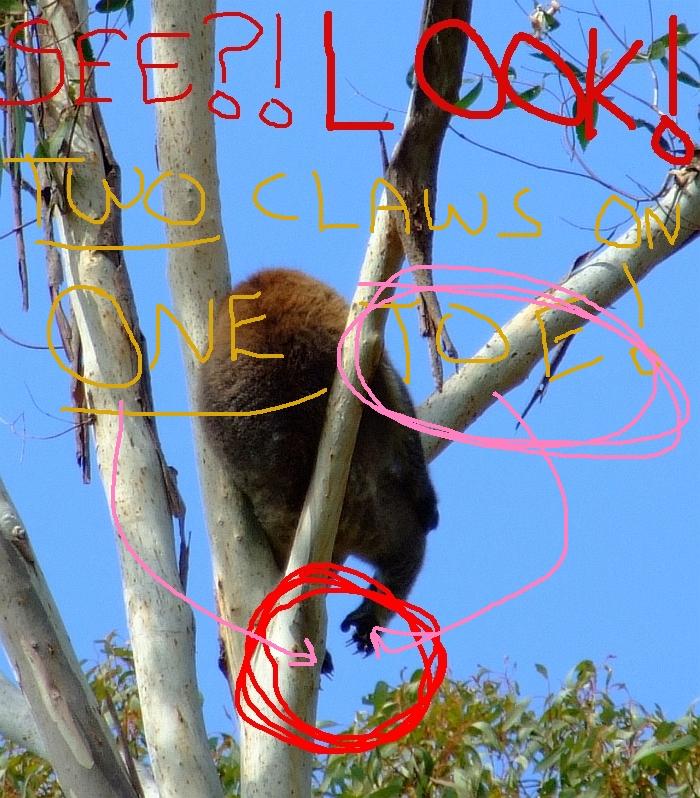 koala claws04