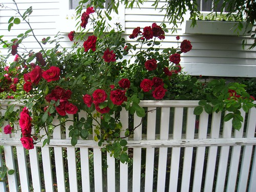 red roses on fence