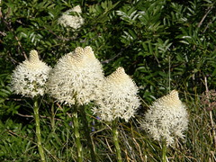 Beargrass on Crystal peak trail.