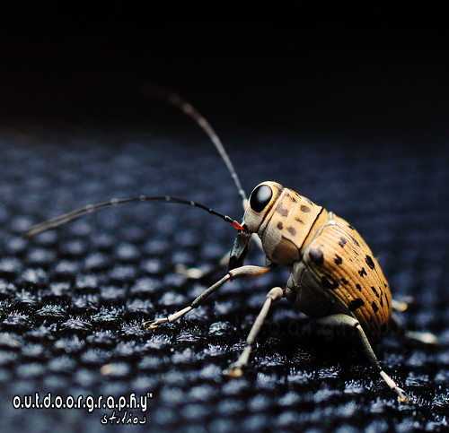 Fungus Weevil Side Profile (by Sir Mart Outdoorgraphy™)