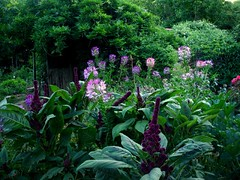 Evening light on Cleome Spinosa and Amaranthus Gangeticus (Elephant Head Amaranthus) (hardworkinghippy) Tags: france bio permaculture organicvegetables bourrou hardworkinghippy lgumesbio jardinbio organickitchengarden permaculturefrance permaculturedordognepermaculturefrance