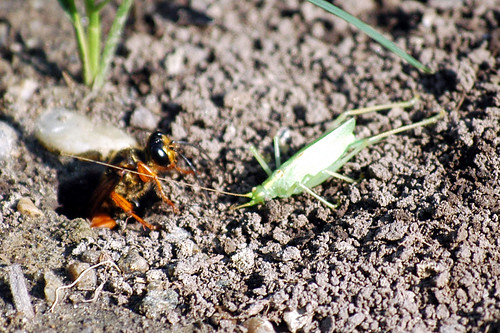 golden digger wasp day 6A