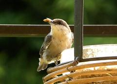 who's a cute little birdie? (ChicaD58) Tags: bird nature garden backyard eating beak seed posing feeder nuthatch picnik brownheadednuthatch mysistersyard goldwildlife sunflowermeats